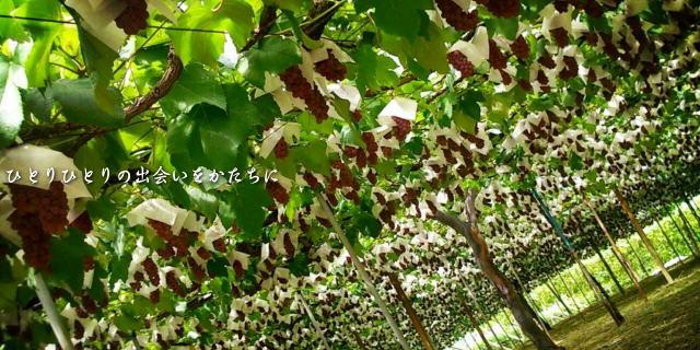 勝沼の葡萄棚