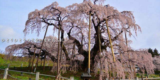 三春の枝垂桜